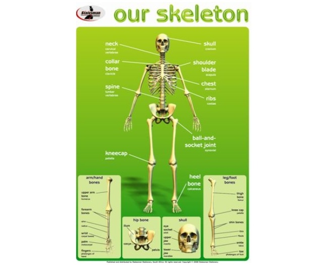 Our Skeleton Write and Wipe Educational Poster 1