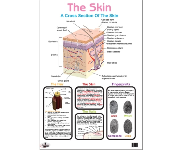 Poster the Skin Write and Wipe 1