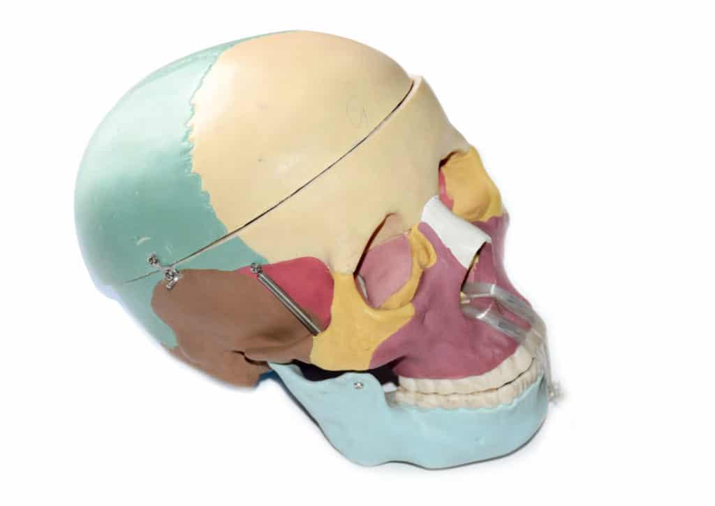 Model Life Size Skull 1